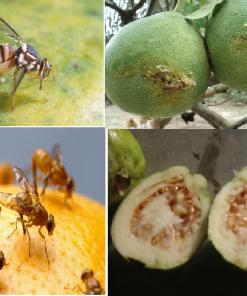 Thuốc dẫn dụ diệt ruồi vàng VIZUBON-D – T58