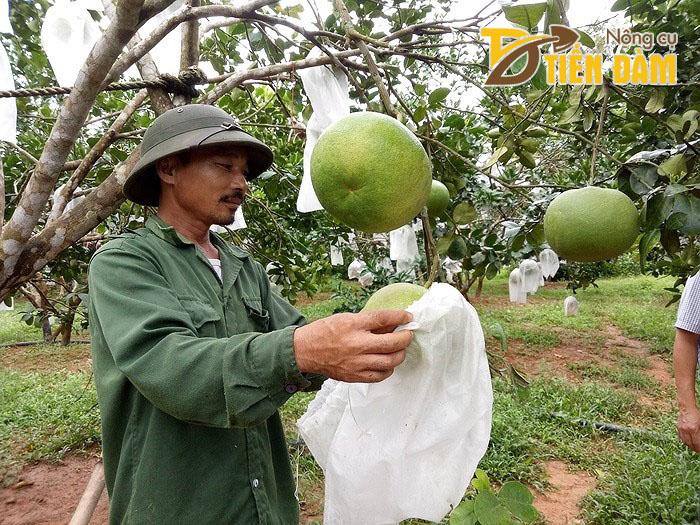 Bác Năm tháo túi bọc khi thu hoạch
