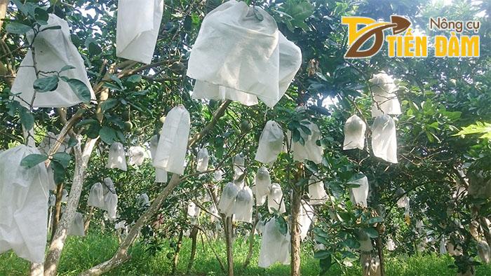 Mô hình vườn bưởi sử dụng túi bao trái cây Tiến Đàm