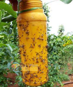 Thuốc bẫy diệt ruồi vàng đục quả, côn trùng gây hại – T72