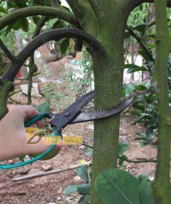 Kéo khoanh vỏ , điều tiết sinh trưởng cho cây lưỡi răng cưa – D16.1