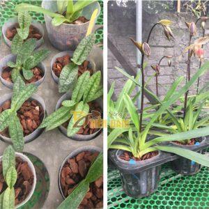 Vỏ thông trồng lan Thanh Hà kích thước 1x1cm – GT1