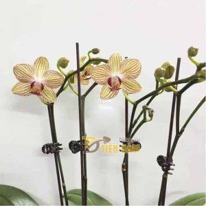 100 chiếc kẹp bướm cho lan Hồ Điệp – VTK4