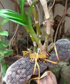 Phân dê cho lan đựng sẵn trong túi lưới 10cm – GT7