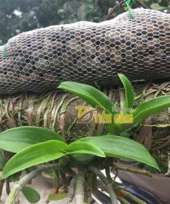 Phân dê bón cho phong lan đóng sẵn túi lưới dài 30cm – GT9