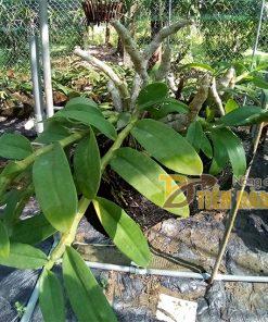 Dớn trụ trồng lan 40 x10cm – GT22
