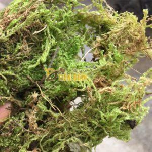Rêu rừng trồng lan gói 200g – GT31