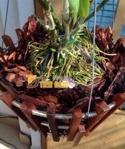 Vỏ thông trồng lan Thanh Hà kích thước 3x4cm – GT3