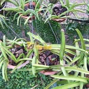 Vỏ thông trồng lan miếng to – VT4